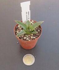 Agave victoria reginae spp swobodae