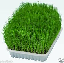 Grass Seed - CAT GRASS / WHEAT GRASS - Triticum Aestivum - Pack of 250 Seeds.