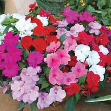 125 Graines de IMPATIENS Walleriana Naine VARIES  / Fleurs