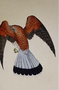 c1875 ANTIQUE PRINT ~ KESTREL WINDHOVER HAND COLOURED British Birds Morris