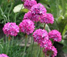 Armenia Maritima Splendens X 3 Jumbo Plug Plants Hardy Perennial