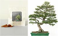 30 Chinese Elm Bonsai Seeds   Grow Your Own Bonsai Tree   Bonsai Beginner Gift