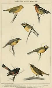 WOOD WARBLERS: Genuine 1903 (Dated) Natural History Stone Chromolithograph Birds