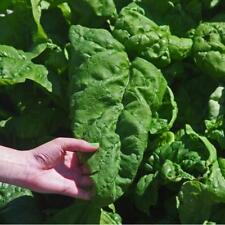 10 pcs Viroflay Giant Spinach vegetable seeds