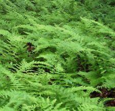 5 HAY SCENTED FERN FERNS Dennstaedtia punctilobula  Hayscented Ferns WOODLAND