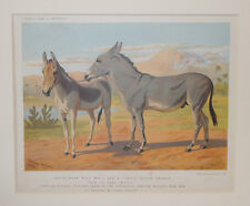 1875 Antique Cassell's Print Abyssinian ASS Indian Onager Chromolithograph