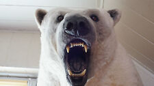AWESOME POLAR WHITE BEAR TAXIDERMY, HANDMADE TOP QUALITY REPLICA, VERY REALISTIC