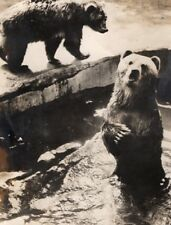Summer Bears Life Vincennes Zoo France old Photo 1955