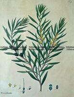 Antique Print 230-250 Botanical - Australian by Andrews c.1820 Botanicals