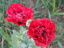 Organic Red Peony Poppy Flower Seeds Papaver Somniferum 500+Seeds