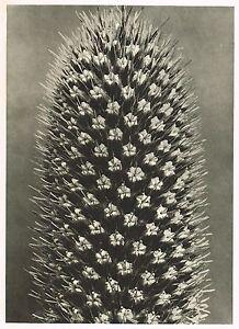 Original Vintage Botanical Karl Blossfeldt Photo Art Print 13