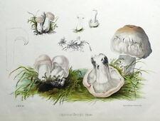 Agaricus Giorgio FUNGO, St. George's FUNGO, HUSSEY Antico funghi stampa 1847
