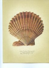 Ocean Sea shell NOBLE SCALLOP original MEDIUM SIZE handworked limited editition