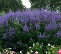 TS066 Vitex Angus-Castus Chaste Tree x20 seeds Ornamental Mauve Flowers