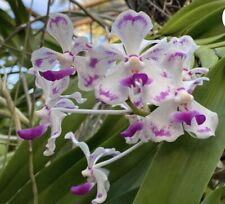 Vanda luzonica X V. foetida Orchid Plant Nbs