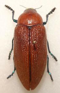 Buprestidae Julodimorpha bakewelli 46mm Western Australia Jewel Beetle Insect