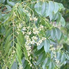 Toona australis (10 graines/seeds )