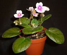 African violet 8E-Phnom Penh live plant in pot