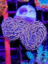 New listing Orange Hammer Coral