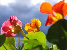 "30 ""Tall Trailing Mix"" Nasturtium Seeds Culinary Flower Beautiful Edible Flowers"