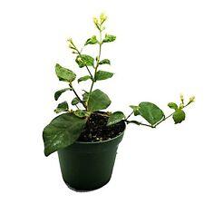 Fragrant Jasmine Plant 4'' Pot Grow Live Houseplant Indoor Flower Green Home Add
