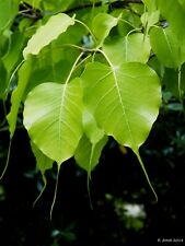 Sacred Fig   Bodhi Tree   Ficus religiosa   50 Seeds   (Free US Shipping)