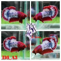 [116_A3]Live Betta Fish High Quality Male Red FCCP Plakat 📸Video Included📸