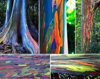 EUCALIPTO ARCOIRIS  (  ORIGINAL ) Eucalyptus deglupta 25 semillas seeds