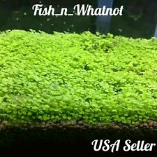 Live Aquarium Plant Seeds Glossostigma Aquatic Water Grass Decor Foreground