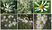 White Daisy Aster Wild Perennial Flower Over 25 Seeds