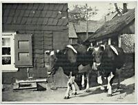 Kühe auf dem Weg zur Weide, Großes Original-Photo, um 1930