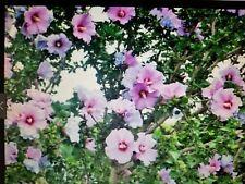 3 Rose of Sharon Hibiscus Plant Shrub Tree PERENNIAL 1-2+ FEET Blushing Bride +