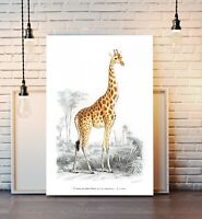 VINTAGE GIRAFFE ILLUSTRATION CANVAS WALL ART PRINT ANIMAL FRAMED