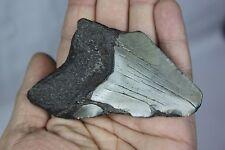 LARGE 3.58 inch Genuine megalodon dinosaur shark tooth fossil 20 MYO USA .