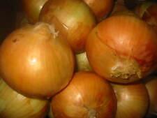 1g (app.200) onion seeds STUTTGARTER RIESEN German heirloom Organic Winterkeeper