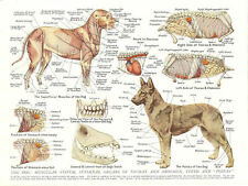 A4 Veterinary Poster – Muscles & Organs of the Dog (Animal Anatomy Pathology)