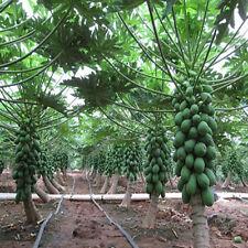 8Pcs Maradol Papaya Seeds Vegetable Fruit Outdoor Yard Home Garden Plants Seeds