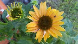 Sonnenhut * Marmelade * Echinacea *  30 * Blumensamen * handverlesen