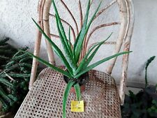 😎JARDY1943    1 Aloe vera  barbendensis   médicinale  depolluante  bio