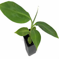 Orinoco Banana Musa Dwarf Live Tree 3-Inch Deep Pot Indoor Yard