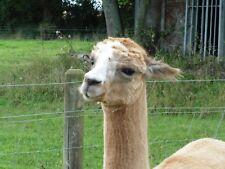 Alpaca PIERNAS Y Cuello De Polar 100% Para Spinning O fieltrar 1kg Fauno