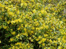 Carolina Jessamine - Gelsemium sempervirens 25 Plants in 3-1/2 inch Pots