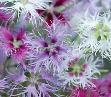 30+ Dianthus Carnation Superbus Spooky Flower Seeds Mix / Perennial