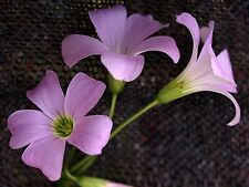2 x Oxalis Triangularis purpurea bulbs.  FREE P&P.