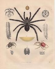 Spinnen Vogelspinne Kreusspinne LITHOGRAPHIE von 1842 Theraphosidae Tarantula