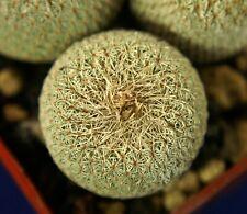 EPITHELANTHA BOKEI =1/3= cacti 仙人掌 กระบองเพชร kakteen #4908