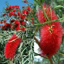 FIERY BOTTLEBRUSH (Callistemon Phoeniceus) SEEDS 'Bush Tucker Plant'