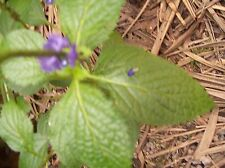 """2 Verbena officinalis Plant 6"""" and Up Vervain Verbena officinalis Verveine Plant"""