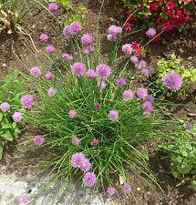 Schnittlauch Samen Kräutersamen (Allium schoenoprasum)