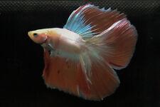 RARE!! Premium Live Betta Fish : Male Double Tail HM Orange Dragon  (BIT044)